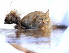 青海湖区 荒漠猫